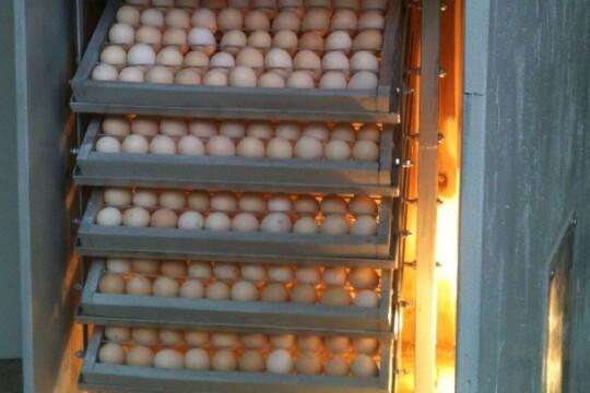 Review top 5 máy ấp trứng gà có tỷ lệ ấp thành công cao nhất