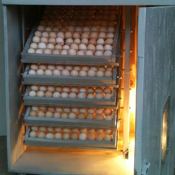 Máy ấp trứng gà 3
