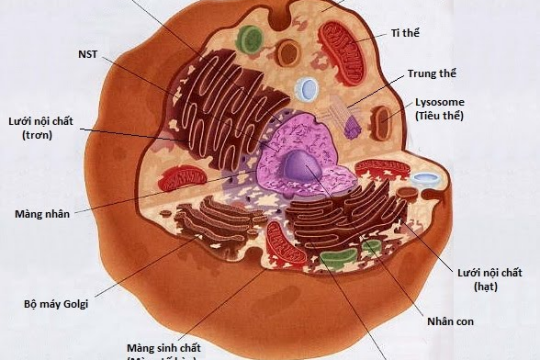 Tổng hợp một số thông tin về tế bào nhân thực có thể bạn chưa biết!